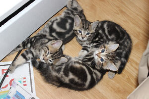 Bengal kittens Looking for Forever homes