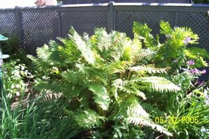 Large Hostas and Ferns for sale.