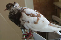 Cappuchine pigeon found in Hastings