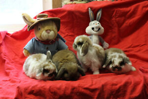 HOLLAND LOP , BABIES,  PURE BRED