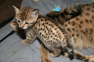 AFRICAN SERVAL HYBRYDS F2  f3 Savannah kittens