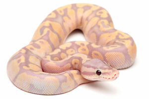 Large variety of ball python morphs available