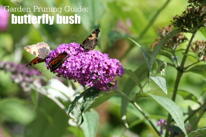 Garden Pruning Guide | Summer Flowering Trees and Shrubs | Butterfly Bush