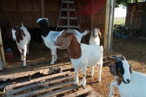 Boer and BoerX Goats for Sale