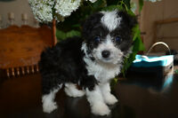 ***PRECIOUS LITTLE HYBRID BABIES Chinese Crested powder puff/Chi