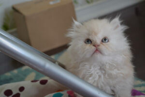 Persian Kitten Very Cute Playful and Litter Trained