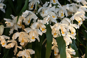Orchid Coelogyne Cristata 'The Queen' - Blooming Size