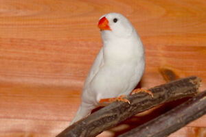 I'm looking for a white zebra finch