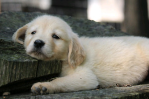 Purebred Golden Retriever puppies for sale