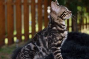Bengal kitten, brown female,Nacala
