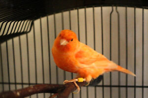 Red Factor Male Canary with Cage Kitchener / Waterloo Kitchener Area image 1