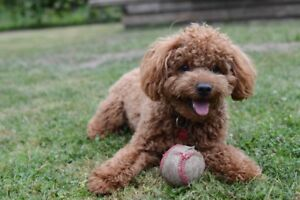 Copper 2 Year old mini poodle