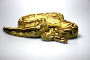 BALL PYTHON - 2012 Butter Pastel Female