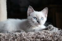 Siamese/Ragdoll cross kittens with shots and deworming