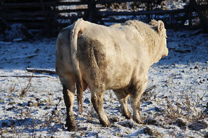 POLLED CHAROLAIS BULL Peterborough Peterborough Area image 3