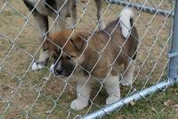 Akita Puppies pure unregistered