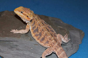 Free rescue Bearded Dragons