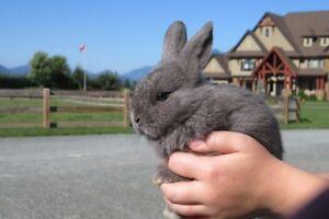 Cute Holland Lop/Rex bunnies for sale!