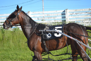 Standardbred filly for sale
