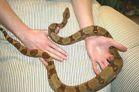 Hypo Red tailed Boa Female for Tattoo