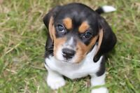 BEAUTIFUL BEAGLE PUPPIES...just two male puppies left!