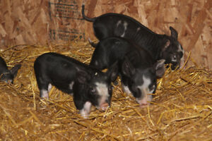 Berkshire Weanlings for Sale
