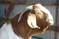Beautiful Boer Goat Buck for sale