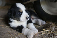 Gorgeous Bernese Mountain Dog cross Great Pyrenees puppies.