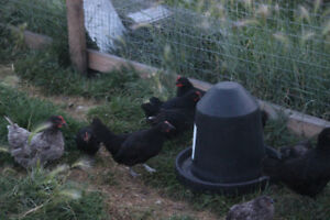 Bantam Chicks for Sale