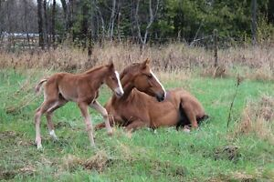 Registered Quarter Horse mare Williams Lake Cariboo Area image 3