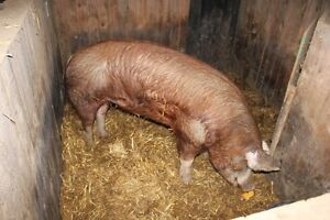 Hereford pig boar