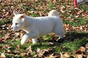Beautiful White Akita puppies for sale