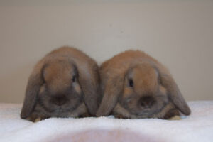 Pure bred Holland Lop babies for sale