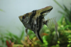 Angelfish Juveniles / 8 months old
