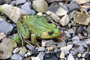 Frogs for Sale! Pond additions, pest control, easy pets!