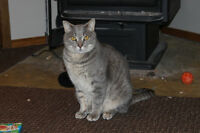 Cuddly Grey Tabby in Need of a Loving Home