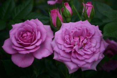 Lavender Veranda Rose Plant   1 Gallon