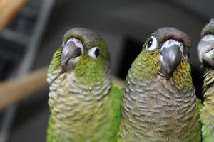 Hand fed, Tame, Baby Green Cheek Conure**NOW $200**