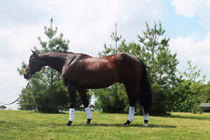 Competitive 3rd LVL Dressage Mount schooling 4th!
