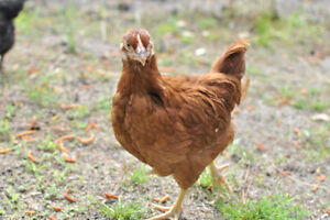 Young Egg Laying Hens