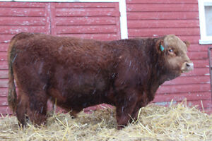 FOR $ 3000.00 to $ 4000.00 you can have your next herd bull.