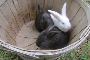 half grown rabbits for sale, 9 to choose from