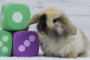 ADORABLE BABY HOLLAND LOPS READY IN TIME FOR EASTER!