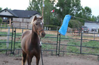 BEAUTIFUL BROKE PONY MARE FOR LEASE IN AIRDRIE