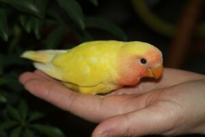 Hand-fed Peach-faced Lutino baby lovebirds want a new home