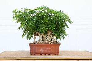 Bonsai Trees for Sale London Ontario image 1