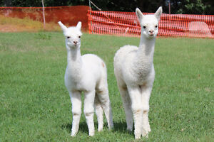 Alpaca packages available