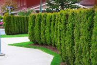 Tree Trimming and Hedge Pruning - Offered in GTA - Best Prices!