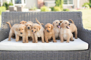 Adopt Dogs & Puppies Locally in St  Catharines | Pets | Kijiji