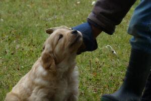 4 Golden retriever puppies left
